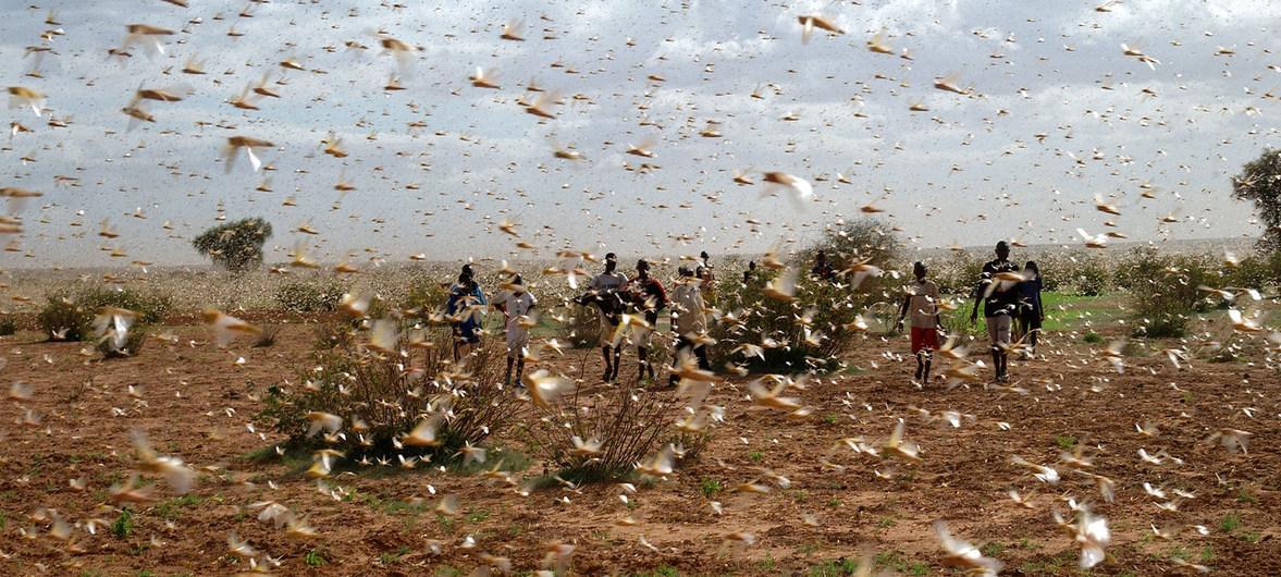 FAO / Giampiero Diana Enjambre de langostas del desierto en una granja.