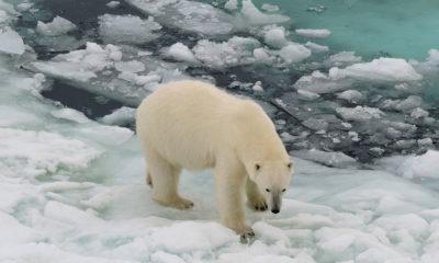 Deutscher Wetterdienst/Karolin Eichler El habitát natural del oso polar está desapareciendo al tiempo que las capas de hielo se derriten.