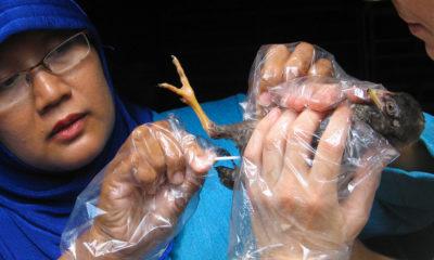 ILRI/Barbara Wieland Investigadores del Instituto Internacional de Investigación Ganadera trabajan para controlar la gripe aviar en Indonesia.
