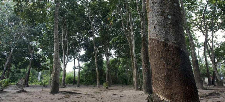 Bosque Nacional Tapajos, Brasil.