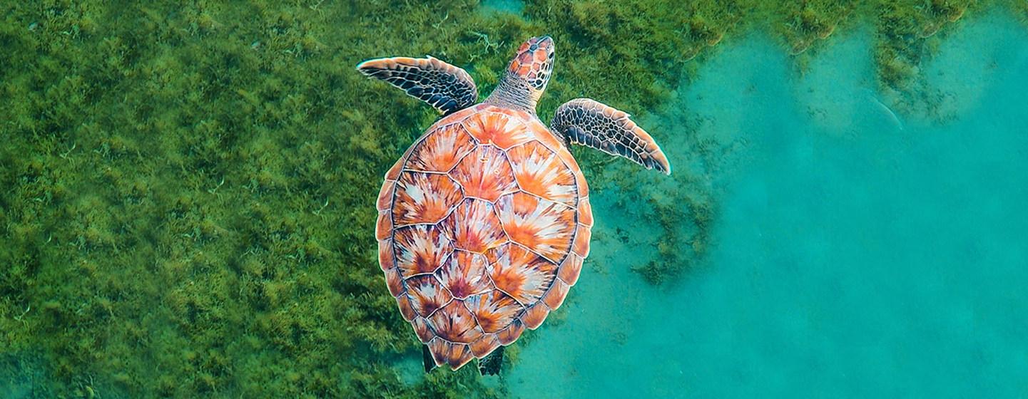 Coral Reef Image Bank/Michele Roux Una tortuga nada en el océano cerca de la isla caribeña de Martinica.